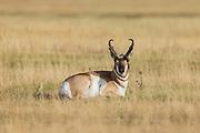 Pronghorn antelope in Wyoming