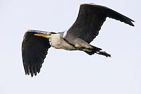 Grey heron (Ardea cinerea) in flight, Pont du Gau, Camargue, France
