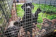 Nederland, Veulen, 14 nov 2015<br /> Hondenfokkerij. Fokkerij voor labradors. <br /> <br /> Foto: (c) Michiel Wijnbergh