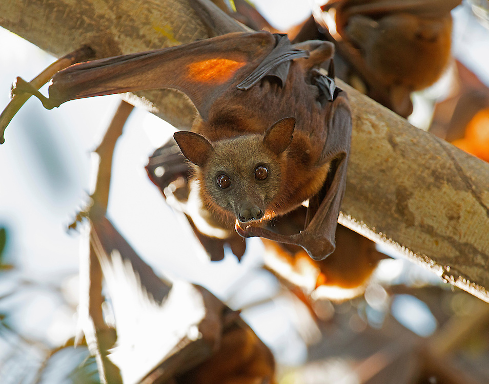 At Kakadu National Park, this flying fox began to stir at its daytime roost, Northern Territory, Australia.
