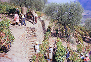 A series of images about port wine production in Portugal c 1960 -  people harvesting grapes on steep hillside terraces