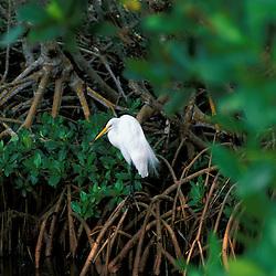 Sanibel, FL.  A great egret, Ardea alba, at Ding Darling National Wildlife Refuge.  Red Mangrove swamp.