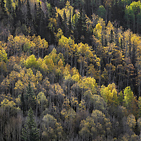 A golden autumn glow sets the forest alight in the San Juan Mountains of Colorado.