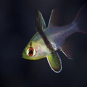 Juvenile pajama cardinalfish hiding among coral in the calm and safe shallow-water environment of Mandarin Fish Lake in Palau