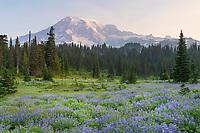 Mount Rainier Paradise wildflower meadows containing  Broadleaf Lupines. Mount  Rainier National Park, Washington