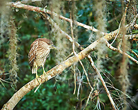 Immature Black-crowned Night Heron perched on a branch in Big Cypress Swamp. Image taken with a Nikon Df camera and 400 mm f2.8 lens (ISO 800, 400 mm, f/4, 1/320 sec).