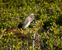 Tricolored Heron. Morning at Black Point Wildlife Drive in Merritt Island National Wildlife Refuge. Image taken with a Nikon D700 camera and 18-300mm VR lens (ISO 200, 300 mm, f/10, 1/400 sec).