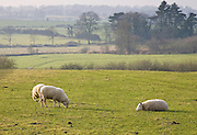 Sheep grazing, Gloucestershire, England, United Kingdom