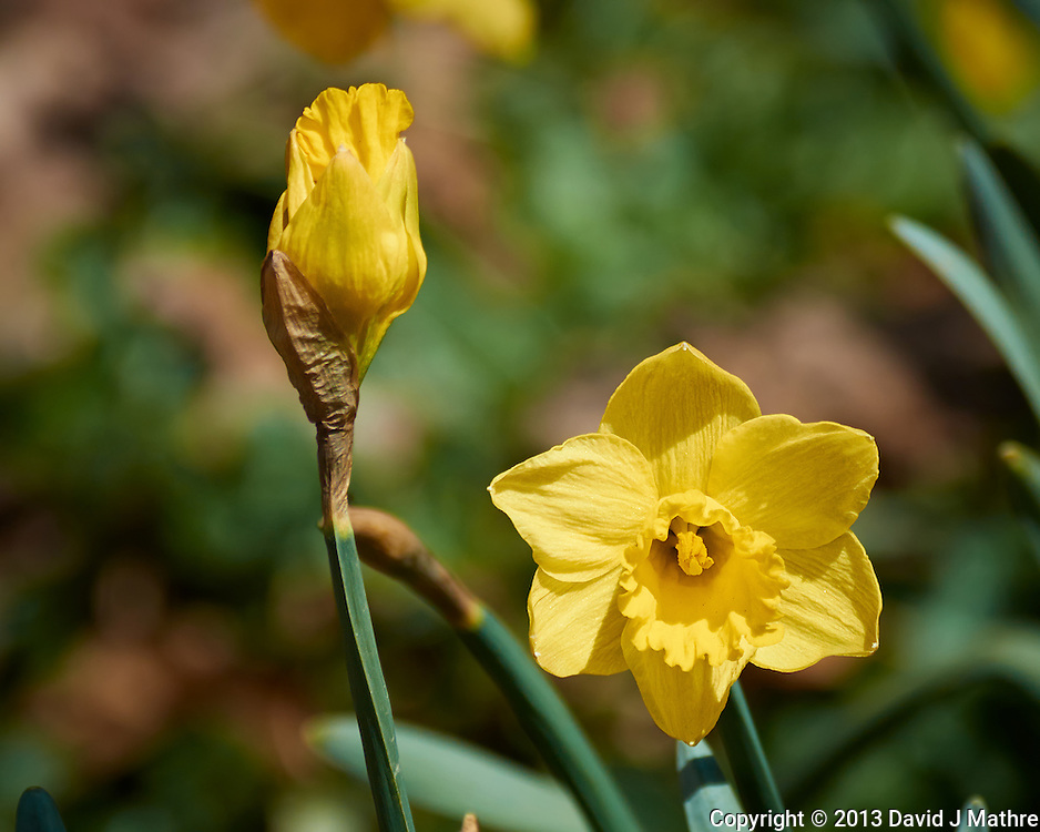 Yellow Daffodil in New Jersey. Image taken with a Nikon 1 V2 camera and 80-400 mm VRII lens with a FT1 adapter (ISO 160, 240 mm, f/5.6, 1/1250 sec). Field of view equivalent to 650 mm with a 35 mm sensor.