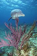 JoJo, a wild sociable bottlenose dolphin, Tursiops truncatus, and gorgonians, Turks and Caicos ( Western Atlantic Ocean )