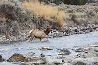 Elk at the junction of the Boiling River and the Gardner River near Mammoth Hot Springs in Yellowstone<br /> <br /> ©2015, Sean Phillips<br /> http://www.RiverwoodPhotography.com