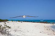 Laysan albatross, Phoebastria immutabilis, flying over beach at Sand Island, Midway Atoll, Midway National Wildlife Refuge, Papahanaumokuakea Marine National Monument, Northwest Hawaiian Islands, USA ( North Pacific Ocean )
