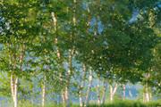 Trees at sunrise (Orton Technique)<br /> L'Isle-aux-Coudres<br /> Quebec<br /> Canada
