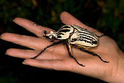 Goliath Beetle, Goliathus orientalis, found in The Congos and Tanzania, on hand to show large size<br /> Cetoniinae<br /> Coleoptera<br /> Goliathini<br /> Scarabaeidae<br /> animal<br /> beetle<br /> insect<br /> largest<br /> living<br /> nature<br /> wildlife<br /> Cetoniinae<br /> Coleoptera<br /> Goliathini<br /> Scarabaeidae<br /> animal<br /> beetl
