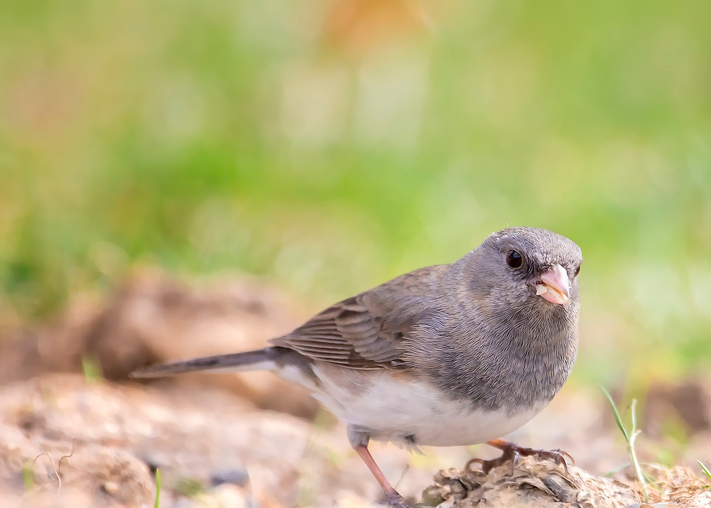 Mr. Junco Forages For Food In The Early Morning Light