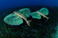 10/Julio/2019 Islas Baleares. Ibiza. <br /> Inmersión con Subfari Portinatx en Punta Galera.<br /> Pareja de peces roncadores.<br /> <br /> © JOAN COSTA