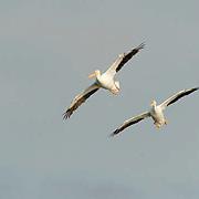 American White Pelican (Pelecanus erythrorhynchos) Pair in flight. Breeding plumage. Near Boca Grande, Florida.