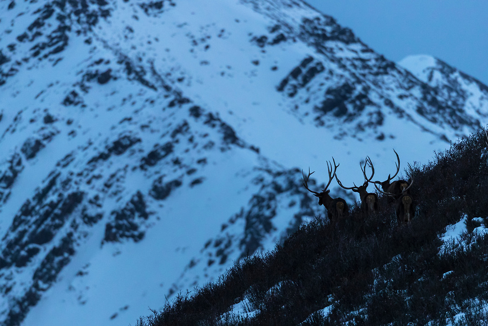 White-lipped deer, Thorold's deer, Cervus albirostris, in snow covered mountain landscape, China, Sichuan Province, Garze Prefecture, Serxu County.