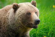 A sow and cub Grizzly Bear along the Haines Highway, at the border between British Columbia and the Yukon Territory, Canada.
