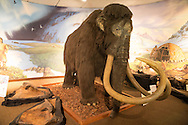 Wooly mammoth replica in the The Page Museum in Los Angeles, California . A natural history museum that houses specimens recovered from the LaBrea tar Pits.