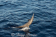 eastern spinner dolphin, Stenella longirostris orientalis, performing an upside-down tail walk, offshore from southern Costa Rica, Central America ( Eastern Pacific Ocean )