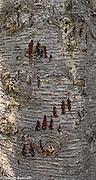 Scratch marks from a black bear that scrambled up this subalpine fir.