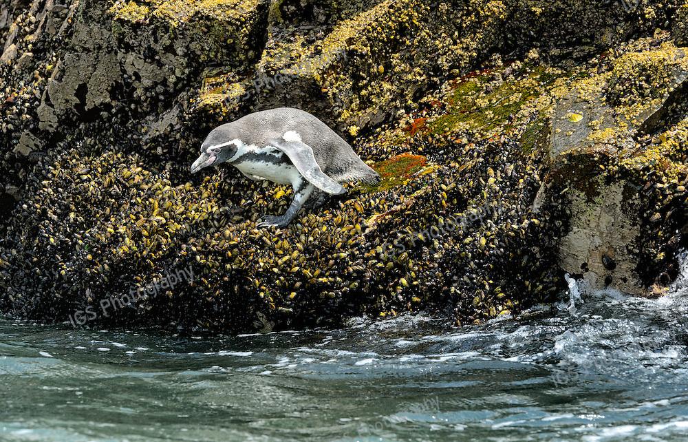 Humboldt Penguin on Ballestas Islands