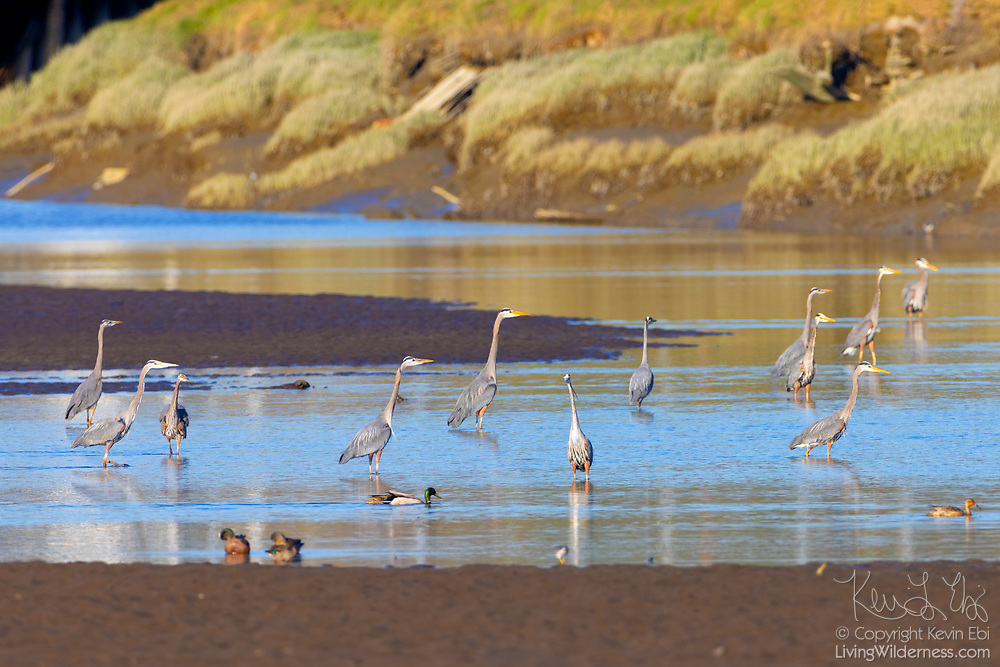 A dozen great blue herons (Ardea herodias) fish in the shallow water of the Stillaguamish River at low tide near Stanwood, Washington.