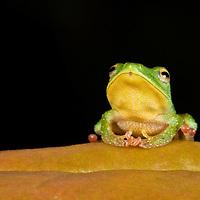 A Green Rain Frog, Pristimantis viridis, in the Chocó.
