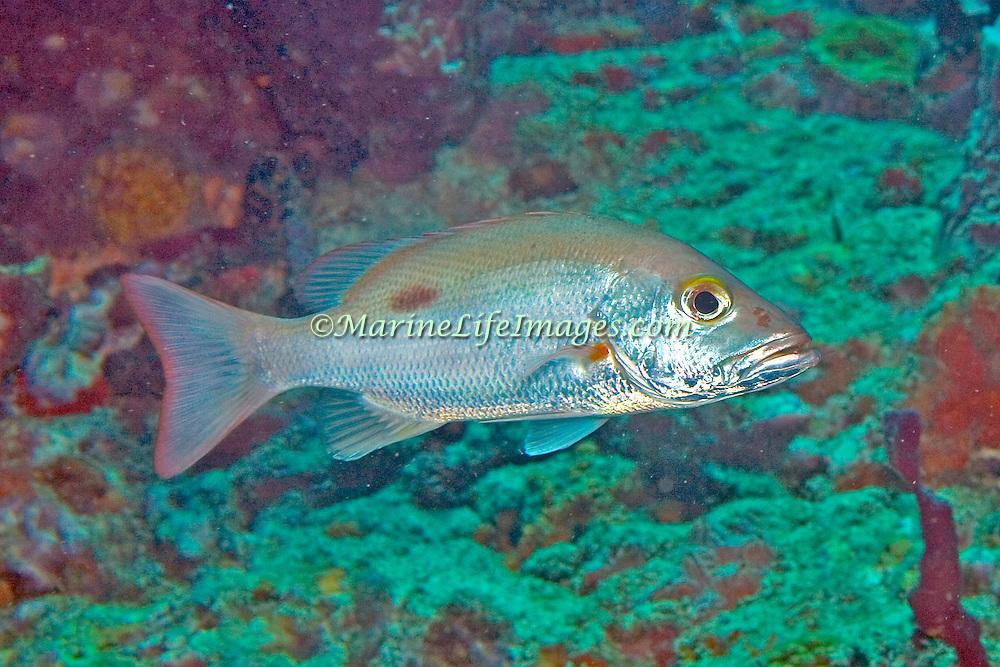 Mahogany Snapper inhabit reefs, in Tropical West Atlantic; picture taken St. Vincent.