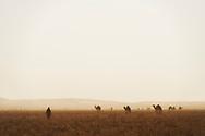 Nomad with camels (dromedaries) in the Sahara desert, Erg Chaggaga, Morocco.