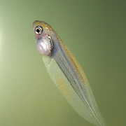 Tadpole of the tiger-leg tree frog (Phyllomedusa tomopterna); uses only the very tip of its tail to propel itself through the water; occurs in lowland rainforest of the Upper Amazon Basin in Colombia, Ecuador, Peru, and Bolivia; and Guianan region from southeastern Venezuela to French Guiana; and Brazilian Amazonia; ex-situ captive breeding project