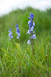 Hispanic or Spanish bluebell growing in grass. Hyacinthoides hispanica