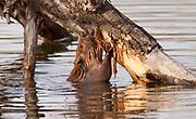 Beaver, (Castor canadensis), Alberta, Canada