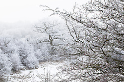 Hoar frost on Hawthorn berries with Gloucestershire countryside beyond. Crataegus monogyna