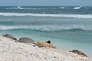 endemic Hawaiian monk seal, Monachus schauinslandi ( Critically Endangered Species ), nurses pup while resting on beach near basking green sea turtles, Chelonia mydas, East Island, French Frigate Shoals, Papahanaumokuakea Marine National Monument, Northwest Hawaiian Islands, USA ( Central Pacific Ocean )