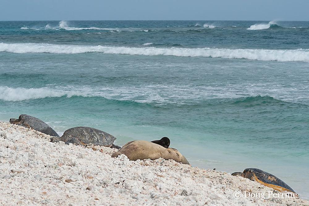 endemic Hawaiian monk seal, Monachus schauinslandi ( Critically Endangered Species ), nurses pup while resting on beach near basking green sea turtles, Chelonia mydas, East Island, French Frigate Shoals, Papahanaumokuakea Marine National Monument, Northwest Hawaiian Islands, USA ( Central Pacific Ocean )
