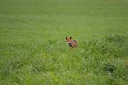 Adult red fox (Vulpes vulpes) standing in green meadow after rain, Latvia Ⓒ Davis Ulands | davisulands.com