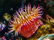 Northern red anemone (Urticina crassicornis) at Oregon Coast Aquarium, Newport, Oregon, USA.