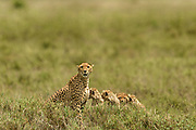 If there is an athlete on the plains of the Serengeti, the cheetah is it. Built for speed, they have two gears, fast...and faster. I'm not sure what piqued the three cubs interest, but I'm thankful for whatever it was.
