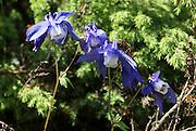 Fan Columbine (Aquilegia flabellata) Photographed in Georgia