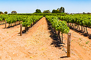 rows of grape vines on a vineyard near Waikare, South Australia, Australia <br />