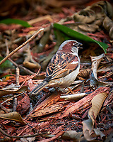 House Sparrow. Image taken with a Fuji X-T2 camera and 100-400 mm OIS lens (ISO 1600, 400 mm, f/5.6, 1/90 sec)