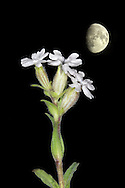 NIGHT-FLOWERING CATCHFLY Silene noctiflora (Caryophyllaceae) Height to 60cm. Stickily hairy annual of arable fields, mainly on chalk or sandy soils. FLOWERS recall those of White Campion. However, petals are pinkish above, yellowish below and inrolled by day, opening at night, when they are scented (May-Jul). FRUITS are capsules with 6 reflexed teeth. LEAVES are ovate. STATUS-Local and declining.