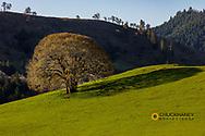 White Oak Teee casts shadow on lush pasture near Roseburg, Oregon, USA