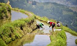 April 18, 2018 - Congjiang, China - Farmers transplant rice seedlings at fields in Congjiang, southwest China's Guizhou Province. (Credit Image: © SIPA Asia via ZUMA Wire)