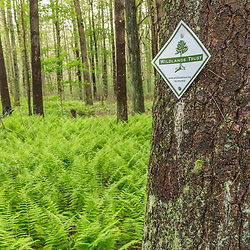 A trail creates a path through ferns in the forest at the Striar Conservancy, a Wildlands Trust preserve in Halifax, Massachusetts.