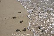 green sea turtle hatchlings, Chelonia mydas, scramble across beach toward ocean Selingaan Island, Turtle Islands Park, off Borneo, Sabah, Malaysia ( Celebes Sea / Western Pacific Ocean )