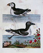 Alca (Razorbill). The Puffin and Razor Bill, Copper engraving with hand colouring from Encyclopaedia Londinensis, or, Universal dictionary of arts, sciences, and literature [miscellaneous plates] by Wilkes, John Publication date 1796-1829