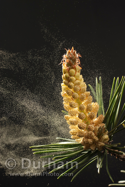 Wind is a principal method of pollen dispersal for the pollen cones of the lodgepole pine (Pinus contorta). Western Oregon.